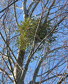 mistletoe in a silver birch