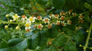 Leaves and flowers of a Boswellia sacra tree, a common source of frankincense http://www.history.com/news/a-wise-mans-cure-frankincense-and-myrrh