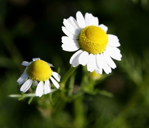 File:Chamomile@original size.jpg - Wikipedia, the free encyclopedia en.wikipedia.org