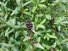 Privet - Wikipedia, the free encyclopedia en.wikipedia.org