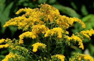 Goldenrod Plants - Wildflowers With Golden Flowers landscaping.about.com