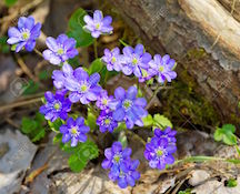 16077203-Blue-flowers-of-Hepatica-Nobilis-close-up-Common-Hepatica-liverwort-kidneywort-pennywort-Anemone-hep-Stock-Photo