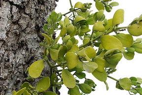 Mistletoe-0243.jpg