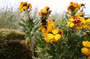 wallflower-and-bumble-bee-387x257