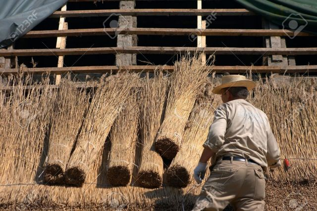 12997675-man-working-at-covering-the-thatch-roof-of-traditional-house-in-denmark-a-sunny-summer-day-Stock-Photo.jpg
