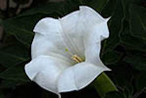 moonflower small
